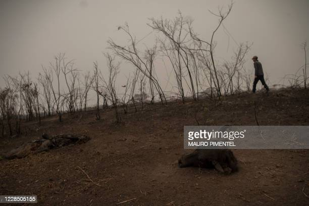 Tour guide Roberto Carvalho walks beside a buffalo carcass found inside a burnt area, while searching for signs of an injured jaguar at the wetland...