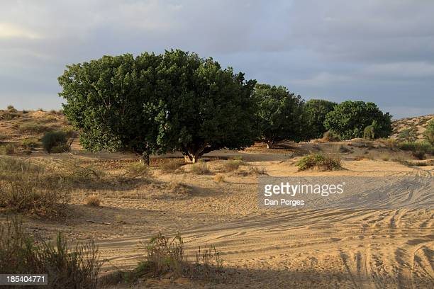 tourism in sand - mulberry tree stock pictures, royalty-free photos & images