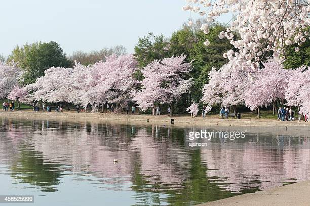 tourist are looking at the cherry blossoms, tidal basin, washington