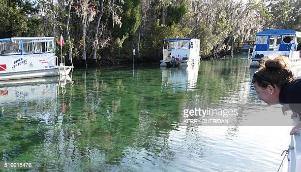 Tourist Brandy Pounds peers into the water looking for endangered manatees on March 9 2016 in Crystal River Florida At peak spring break season...