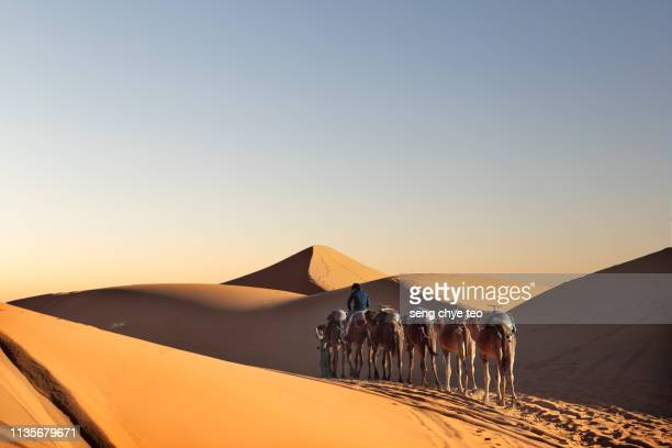 Tourist Camel Caravana in Morocco Sahara with two bedouins walking in the middle of sunny desert.