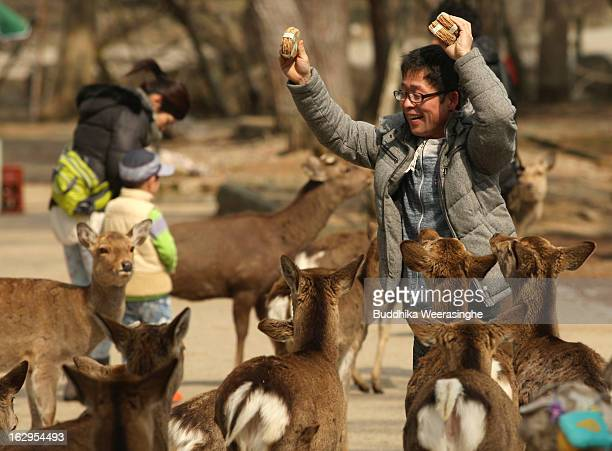 A tourist feed the Japanese deer on the entrance road of the Todaiji Temple on March 2 2013 in Nara JapanHundreds of freely roaming deer living in...