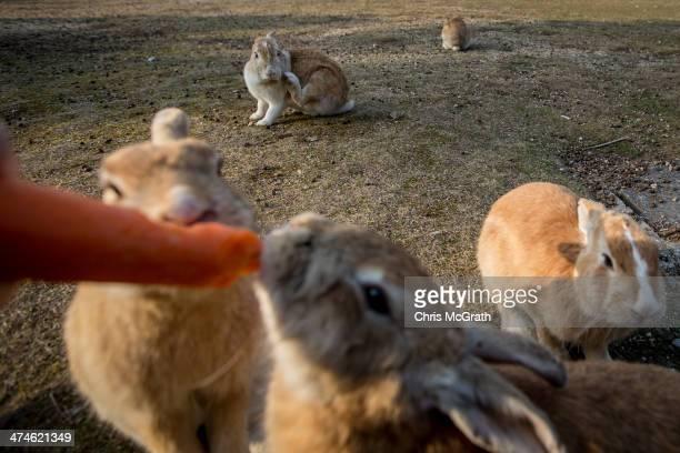 A tourist feeds rabbits on Okunoshima Island on February 24 2014 in Takehara Japan Okunoshima is a small island located in the Inland Sea of Japan in...