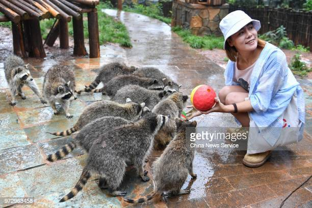 A tourist feeds raccoons with a food dispense ball ahead of the Dragon Boat Festival at Yunnan Zoo on June 12 2018 in Kunming Yunnan Province of...