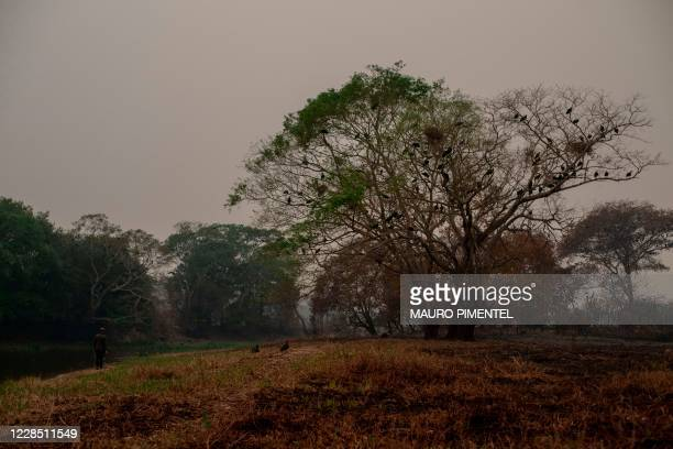 Tourist guide Roberto Carvalho looks for signals of an injured jaguar in a burnt area of the Pantanal, near the Transpantaneira park road which...
