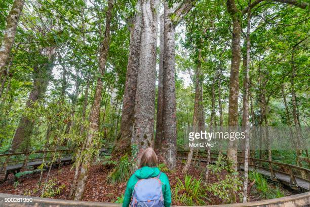 Tourist in front of four Kauri trees (Agathis australis) standing together, The Four Sisters, Waipoua forest, Northland, North Island, New Zealand