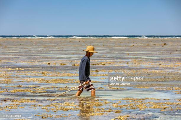 Tourist is hiking at low tide trough the coral reef at lady Elliot island. In the quest to save the Great Barrier Reef, researchers, farmers and...