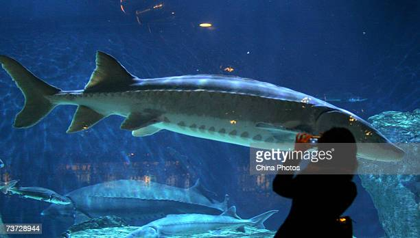 A tourist looks at a giant wild Chinese Sturgeon at the Beijing Aquarium on March 22 2007 in Beijing China Two caught wild Chinese Sturgeons will be...