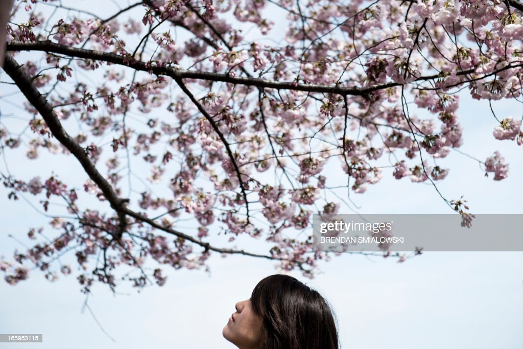 A tourist looks at cherry blossoms along the Tidal Basin on April 7, 2013 in Washington. Tourists visited the National Mall along the Tidal Basin to view blooming cherry trees, some of which were a gift from Japan in 1912, as the weather warms and spring arrives. AFP PHOTO/Brendan SMIALOWSKI