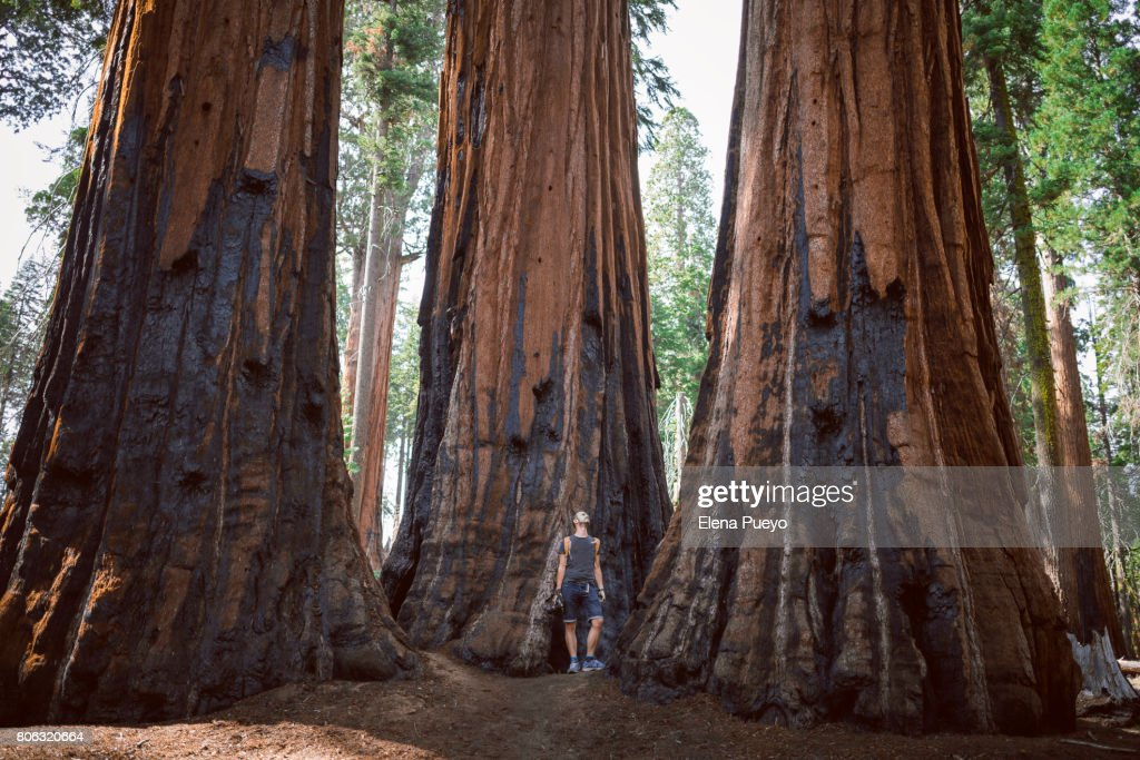 Tourist making a trail in Sequoia National Park, trekking trail : Stock Photo