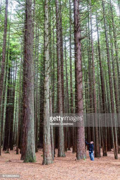 Tourist near big tree in the Redwood forest, Rotorua, New Zealand