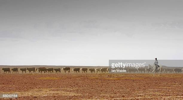 A tourist on horseback herds cattle down the Birdsville Track during the 2005 Great Australian Outback Cattle Drive June 8 near Marree Australia...
