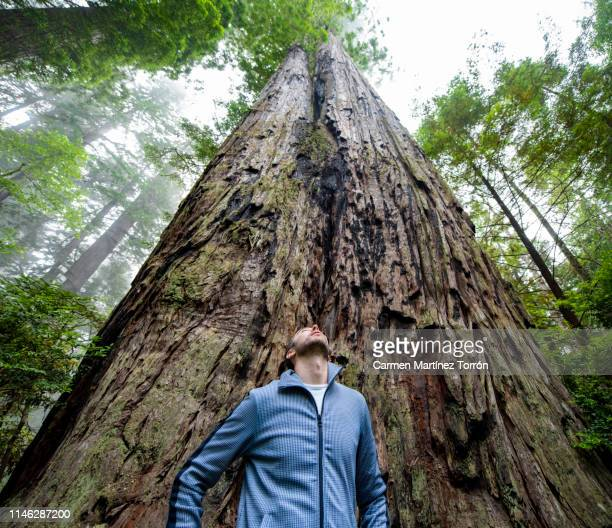 tourist on the sequoia national park tree, usa. - sequoia national forest stock photos and pictures