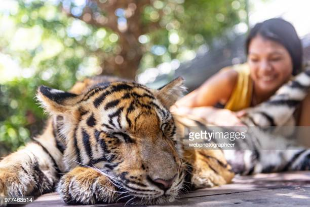 cachorro de tigre turístico acariciar - animales en cautiverio fotografías e imágenes de stock