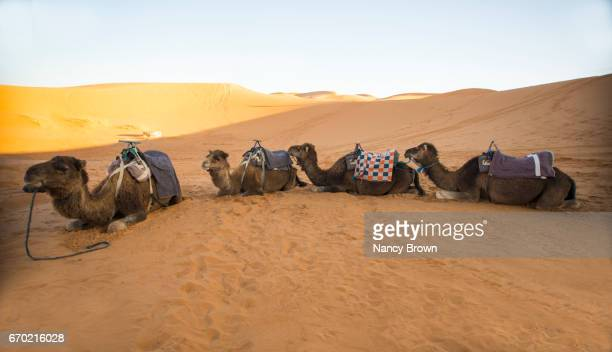 Tourist safari camels in The Sahara Desert at Sunset in Morocco Africa.