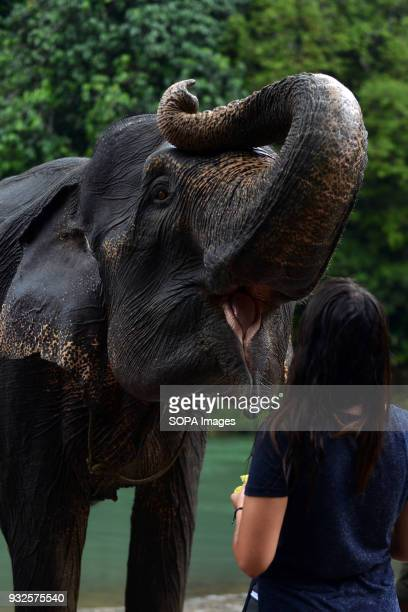 A tourist seen feeding an elephant At Elephant and Ecotourism Gunung Leuser National Park tourists can help bathing elephants on the outskirts of...