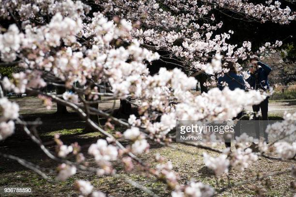 Tourist takes photos under an earlyblossoming cherry tree as Japan approaches Hanami or cherry blossom season in Yoyogi Park on Friday March 23 2018...