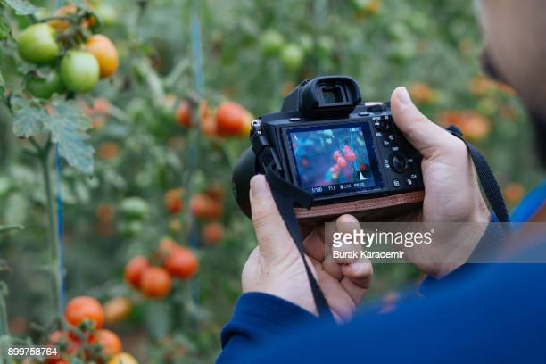 Tourist takes picture of tomatoes