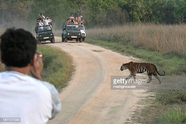Tourist traffic photographs wild female tiger crossing road Kanha India