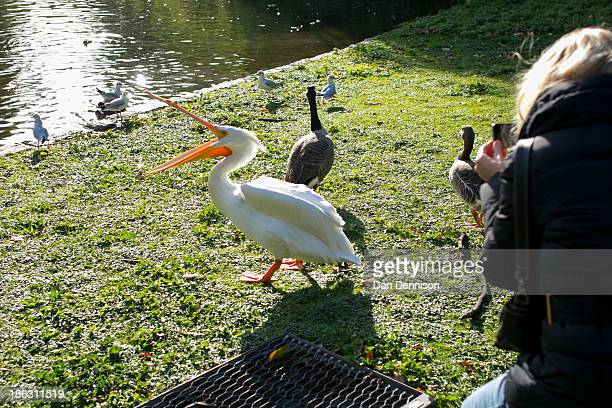 A tourist tries to photograph an unhappy Pelican in St James Park on October 30 2013 in London England Weather conditions have stabilised in London...