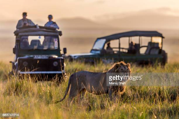 tourist vehicles watching - male animal stock pictures, royalty-free photos & images
