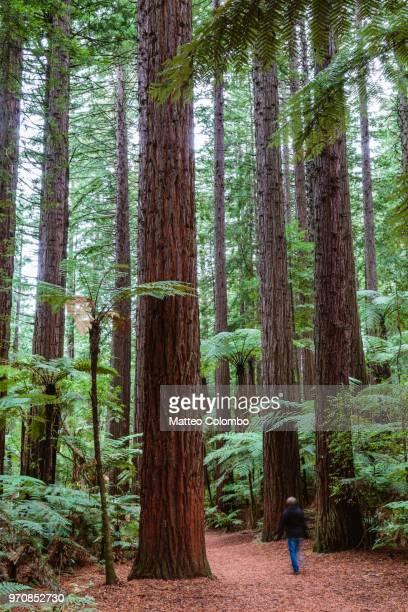 Tourist walking in the Redwood forest, Rotorua, New Zealand