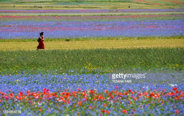 Tourist walks in the middle of blooming flowers and lentil fields in Castelluccio, a small village in central Italy's Umbria region on July 6, 2020