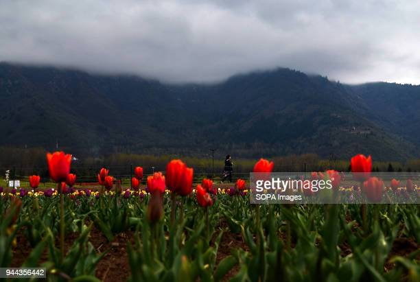 A tourist walks past tulips inside the Asia's largest Tulip garden on a rainy day in Srinagar Indian administered Kashmir The Kashmir valley...
