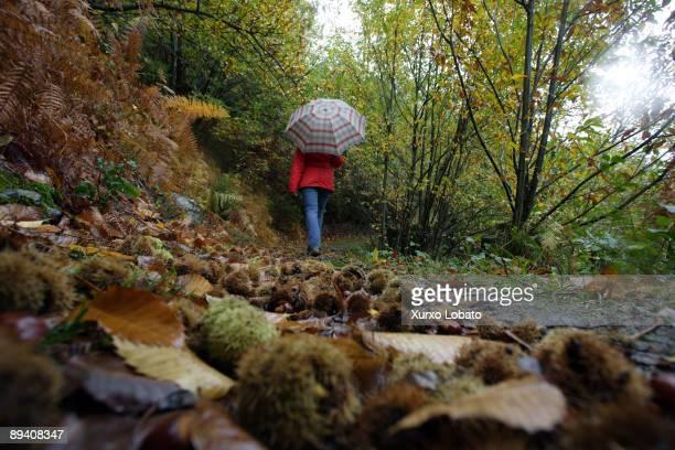 A tourist with umbrella walking in the forest of O Caurel or O Courel Lugo Galicia