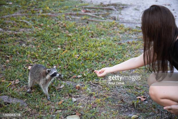 tourist woman meeting cute raccoon in the bill baggs cape florida state park of miami area. - florida us state stock pictures, royalty-free photos & images