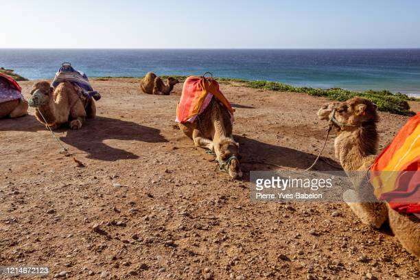 touristics camels on the dromedary terrace of tangier - pierre yves babelon stock pictures, royalty-free photos & images