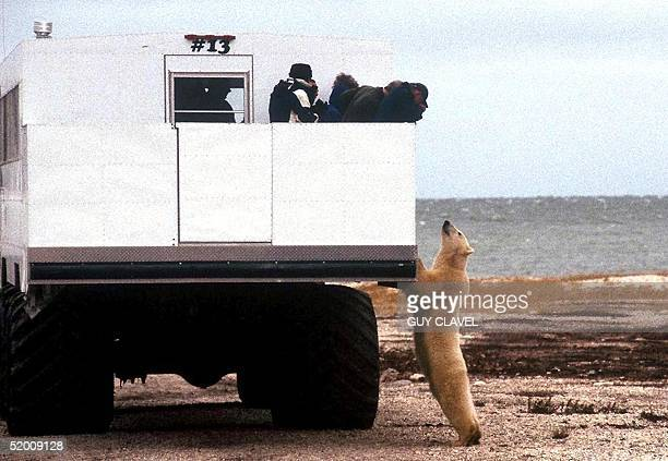 Tourists aboard a special tundra buggy view a polar bear 11 October 2002 near the city of Churchill Manitoba Canada The white bears which congregate...