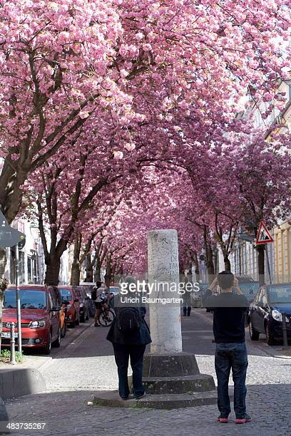 Tourists admire the cherry blossom in the old city of Bonn in the foreground a milestone an archaeological pieces from the Roman period on April 02...