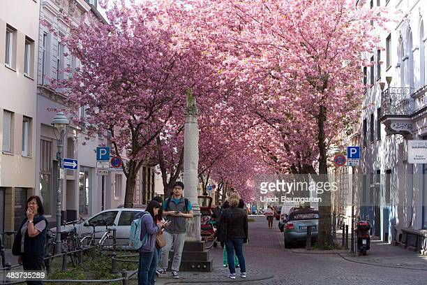 Tourists admire the cherry blossom in the old city of Bonn in the foreground the Jupiter column an archaeological pieces from the Roman period on...