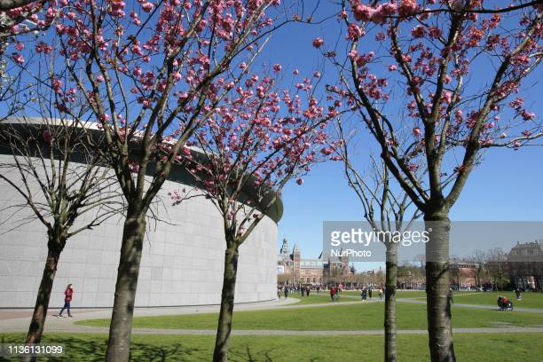 Tourists and locals enjoying next the cherry blossom trees with Van Gogh Museum left and Rijksmuseum in the background during spring time at the...