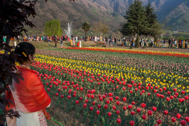 Photos et images de spring flowers in bloom in asias largest tulip tourists and locals walk in the siraj bagh tulip garden where more than 2 million tulips mightylinksfo