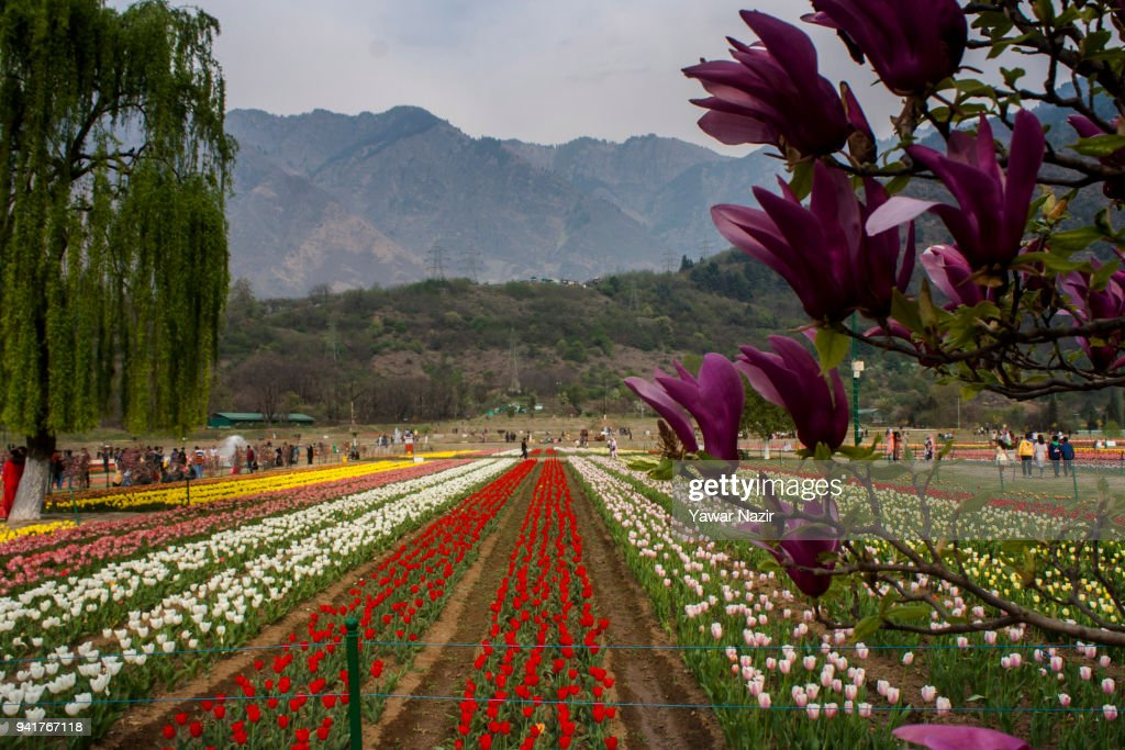 Spring flowers in bloom in asias largest tulip garden photos and tourists and locals walk in the siraj bagh tulip garden where more than 2 million tulips mightylinksfo