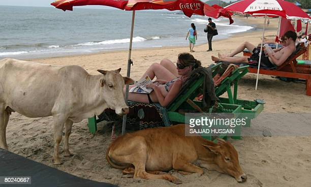 Tourists are watched by cows as they relax under umbrellas on Anjuna Beach in Goa on March 14 2008 Police in the Indian coastal state of Goa hav...