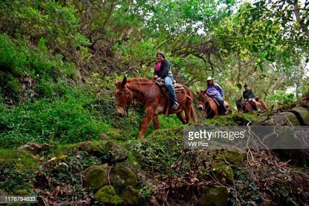Tourists come down the Molokai Cliffs on a mule ride Molokai Hawaii USA