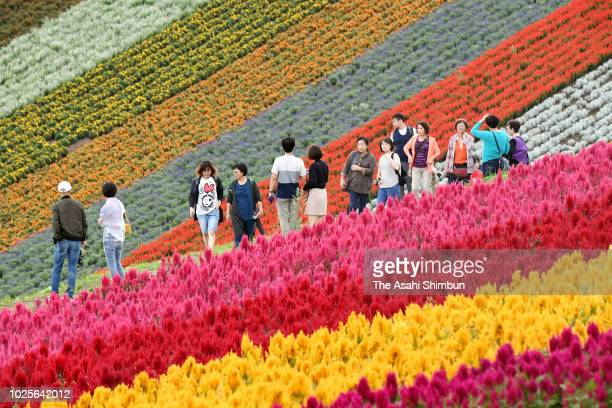 Tourists enjoy fully bloomed plumed cockscomb filed at ShikisainoOka on August 31 2018 in Biei Hokkaido Japan