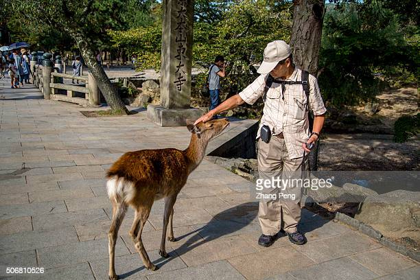 Tourists feed deer Deer regarded as messengers of the gods in the Shinto religion roam the grounds freely Tdaiji is a Buddhist temple complex listed...