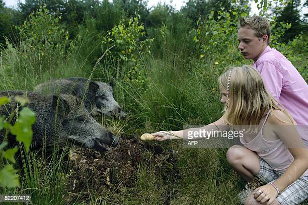 Tourists feed wild boar in Vierhouten on August 7 2008 In the evening 'tame' wild boar come out of the woods to be fed by tourists from camping sites...