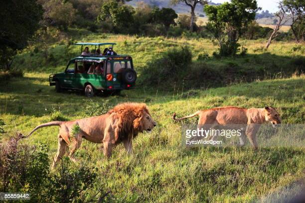 Tourists in a safari jeep watching a lion family with one male 2 female and about 4 children on March 20 2009 in Masai Mara National Park Nairobi...