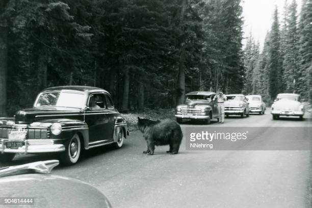 tourists in cars stop to look at bear in Yellowstone 1953