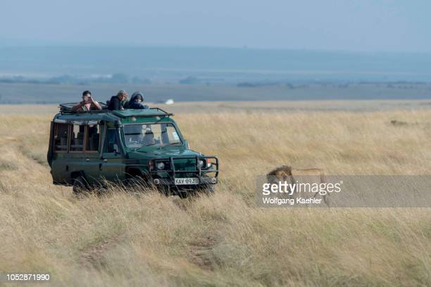 Tourists in safari vehicles watching a male lion is walking through the high grass in the grassland of the Masai Mara National Reserve in Kenya