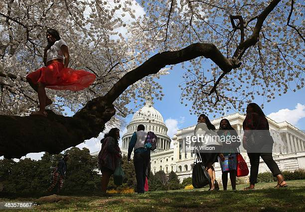 Tourists inspect the Yoshino Cherry trees that are blooming in front of the US Capitol on April 9 2014 in Washington DC Washingtons famed Cherry...