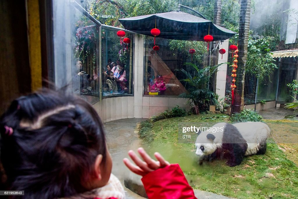 Tourists look at giant panda Basi at Fuzhou Panda World in Fuzhou, east China's Fujian province on January 18, 2017. Basi, which celebrated her 37th birthday on January 18, is the world's oldest giant panda in captivity. / AFP / STR / China OUT