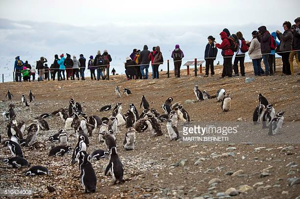 Tourists look at Magellanic penguins in Magdalena Island located in the Strait of Magellan near Chile's southern tip where tens of thousands of...