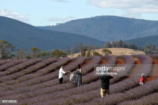 Tourists make their way through the lavender rows at Bridestowe Lavender Estate on January 10 2018 in Launceston Australia The estate runs over 260...