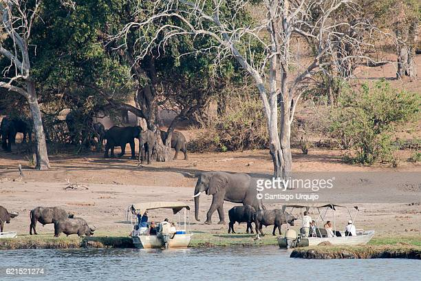 Tourists observing African elephants and buffaloes on bank of Chobe River